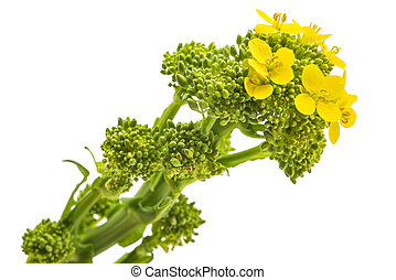 Turnip tops - Fresh turnip tops with flowers isolated on ...