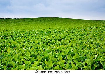 Turnips field in rural Switzerland