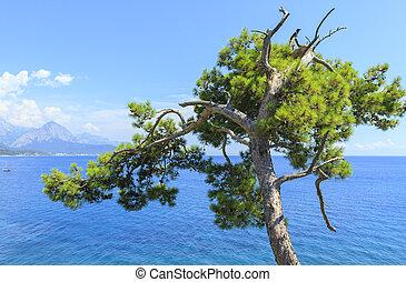 turquoise hav, træ, fyrre, baggrund, kemer