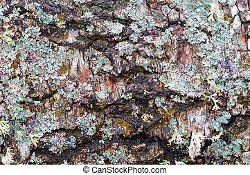 turquoise lichen Parmelia on birch, tree bark with fur