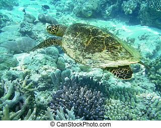 Turtle and coral reef - Sea turtle is swimming over a coral...