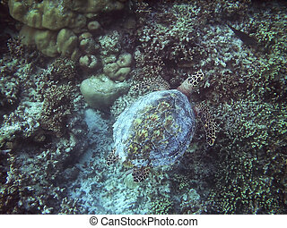 Turtle and coral reef