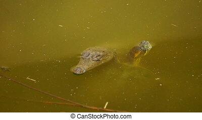 Turtle and Crocodile - A Turtle and a Baby Crocodile...