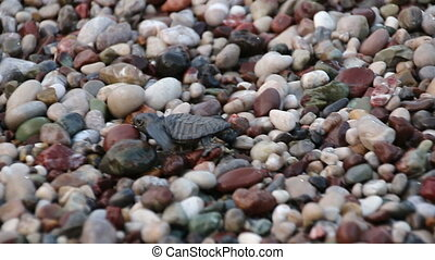 Turtle baby crawls to the sea.