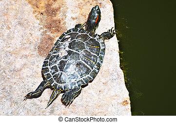 Turtle Basking
