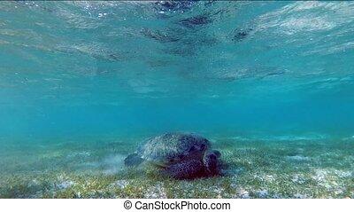 Turtle Chelonia mydas swimming in a seaweed meadow