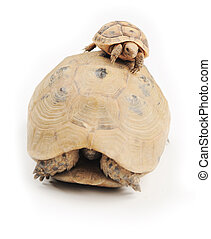 Turtle climber