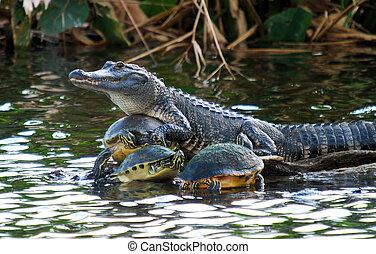 Turtle Collector - Alligator in the Florida Everglades