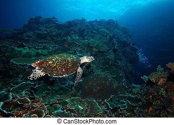 turtle coral reef and diver underwater