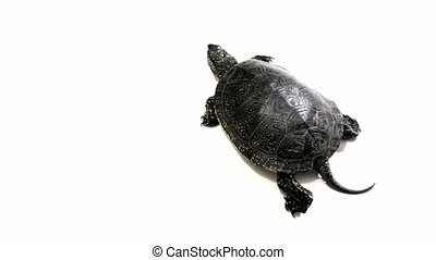 Turtle crawling on white background