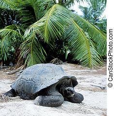 turtle, Curieuse, Seychelles