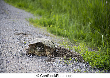 Turtle digging hole in Gravel - Turtle digging a hole in...