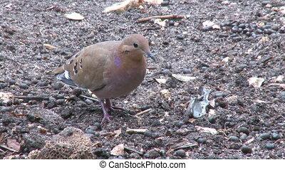 Turtle Dove on ground