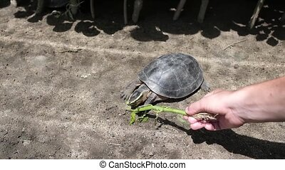 turtle eating grass from hand of caucasian woman in zoo