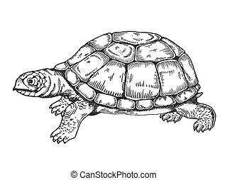 Turtle engraving style vector - Turtle vector illustration....