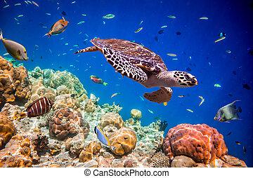 Eretmochelys imbricata - Turtle - Eretmochelys imbricata ...
