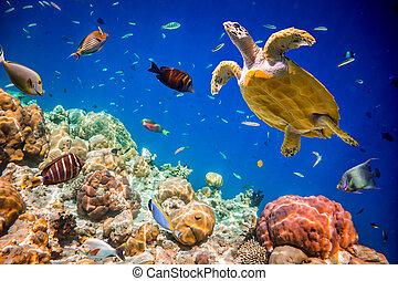 Eretmochelys imbricata - Turtle - Eretmochelys imbricata...