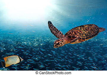 Turtle - Eretmochelys imbricata floats under water