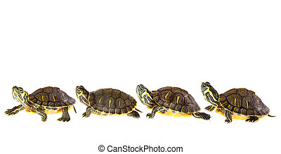 Turtle family on parade - Family of funny green turtles on...