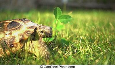 Turtle Feeding on Grass