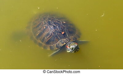 turtle floats in the murky water of the lake