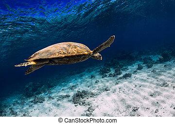 Turtle glides in blue ocean. Green sea turtle underwater