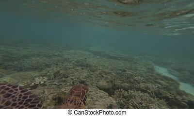 Turtle Gliding, GBR, Lady Elliot Island