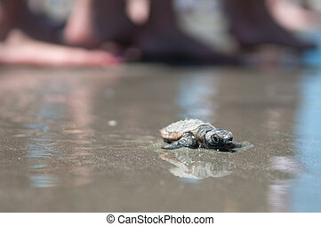 A turtle nest accidentally hatched during the day. Beach patrol assisted as the turtle walked the long and difficult stretch to the water.