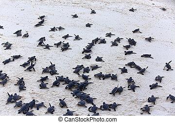 turtle, hatchlings