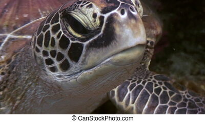 Turtle Head on seabed close up underwater of nature Philippines.