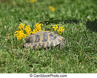 Leopard Tortoise In The Defense Position Leopard Tortoise