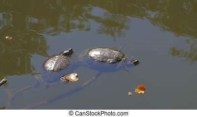 Turtle in the lake - Turtle resting in the lake on a...