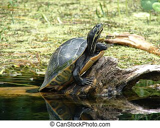 turtle in the swamp - a tortoise in a Florida swamp