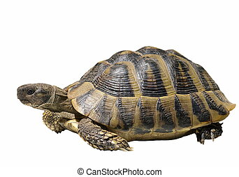 turtle isolated on white - Herman's Tortoise turtle isolated...