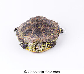 Turtle isolated - Turtle hiding in shell isolated on white...