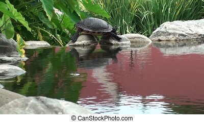 Turtle Laying On The Rocks - Turtle laying on the rocks at a...
