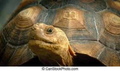Turtle Looks Around Closeup