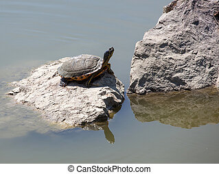 Turtle on a rock in the water