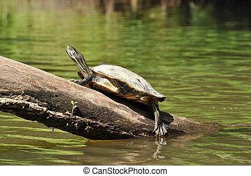 Turtle on a Tree Limb