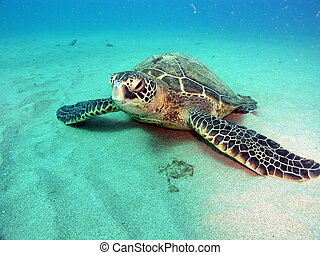 Turtle on bottom - Endangered Green sea turtle on sandy...