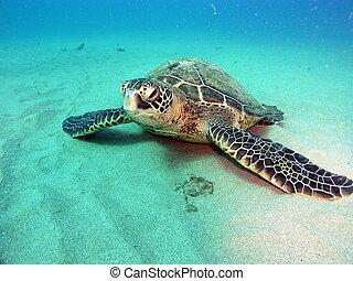 Turtle on bottom - Endangered Green sea turtle on sandy...