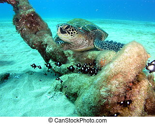 Turtle on reef