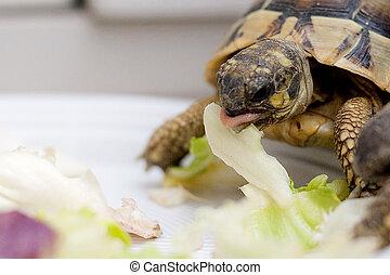 Turtle on salad that eating on dish