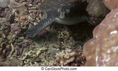 Turtle on seabed close up underwater of nature Philippines.