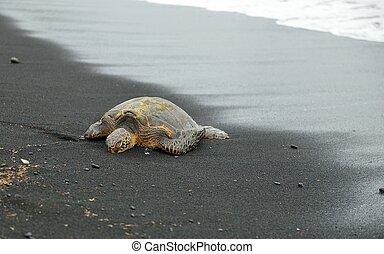 Turtle on the black sand beach of Hawaii Big Island