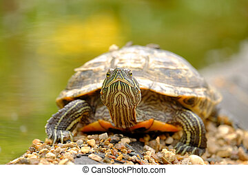Turtle on the rocks - Turtle basking on the stones. Photo...