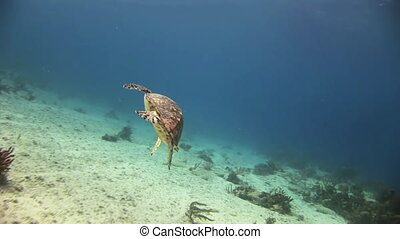 Turtle on the sea floor looking for food.