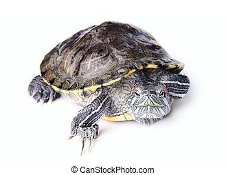 turtle on the white background