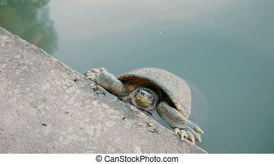 Turtle peeks from the water and keeps the claws over the...