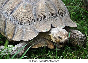 Turtle portrait walking on the grass